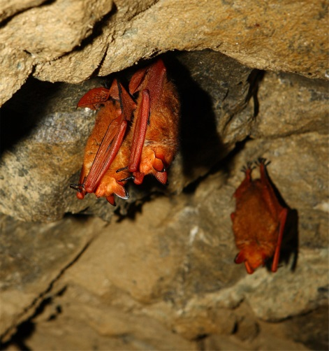 Korean team becomes world's 1st to decode red bat's genome